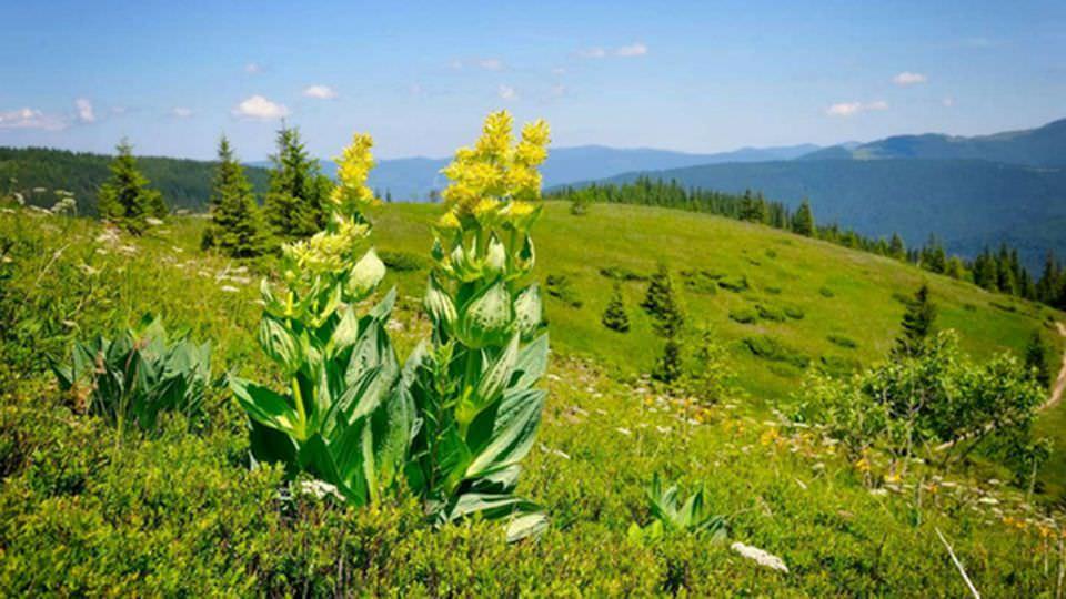 Planinska biljka lincura